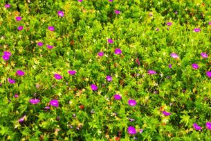 紫のオオイヌノフグリの写真素材 [FYI01175747]
