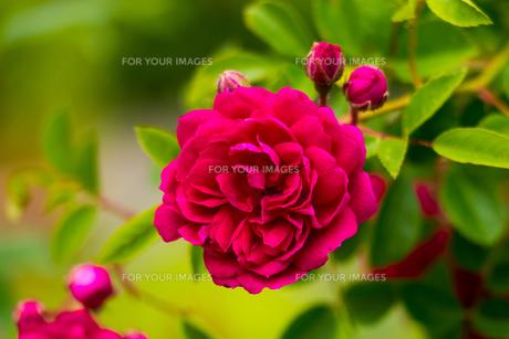 ピンクの薔薇の写真素材 [FYI01175748]