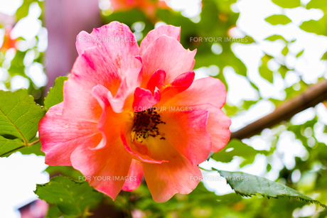 薄ピンクの薔薇の写真素材 [FYI01175749]