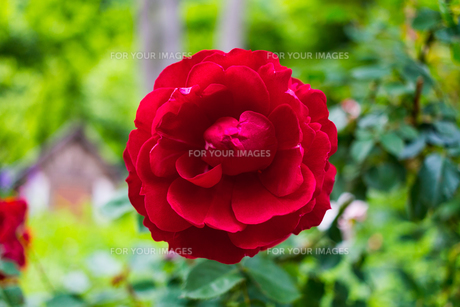 真紅の薔薇の写真素材 [FYI01175750]