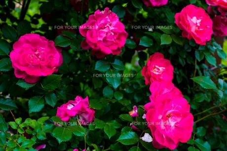 ピンクの薔薇の花の写真素材 [FYI01175751]