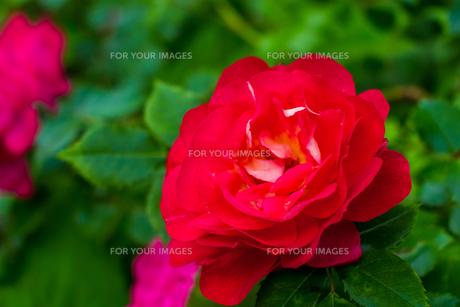 真っ赤な薔薇の写真素材 [FYI01175752]