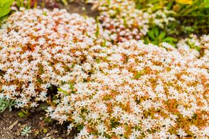 セダムの花の写真素材 [FYI01175755]