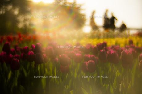 チューリップ 花 植物 背景 風景の写真素材 [FYI01175842]