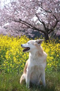 笑顔の犬と満開の菜の花と桜の写真素材 [FYI01175962]