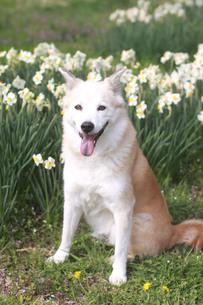 笑顔で見つめる犬とスイセンの花の写真素材 [FYI01175963]