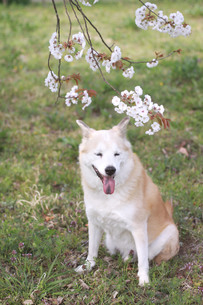 笑顔の犬と桜の花の写真素材 [FYI01175965]