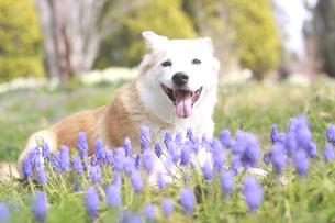 笑顔で伏せる犬とムスカリの花の写真素材 [FYI01175967]