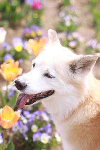 笑顔の犬と春の花の写真素材 [FYI01175968]