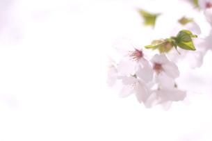 光に透き通った桜の花の写真素材 [FYI01175971]