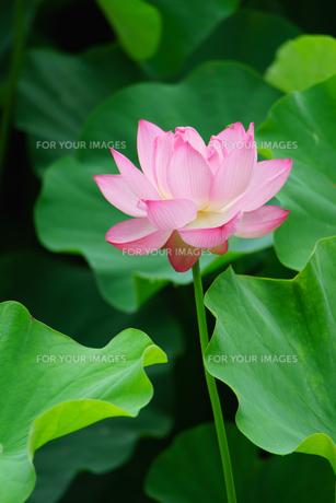 開花したハスの花の写真素材 [FYI01176034]