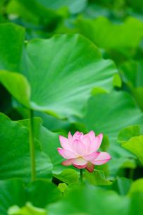 開花したハスの花の写真素材 [FYI01176043]