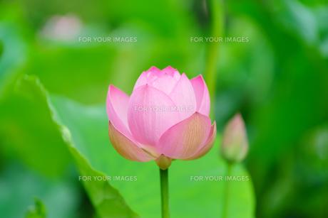 開花したハスの花の写真素材 [FYI01176044]