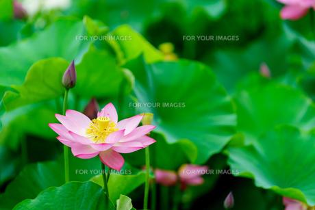 開花したハスの花の写真素材 [FYI01176045]