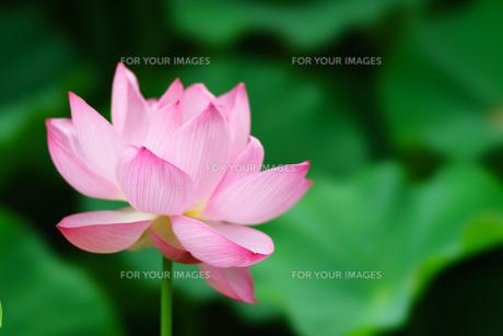 開花したハスの花の写真素材 [FYI01176046]