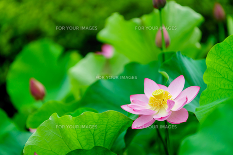 開花したハスの花の写真素材 [FYI01176047]