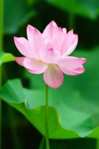 開花したハスの花の写真素材 [FYI01176048]
