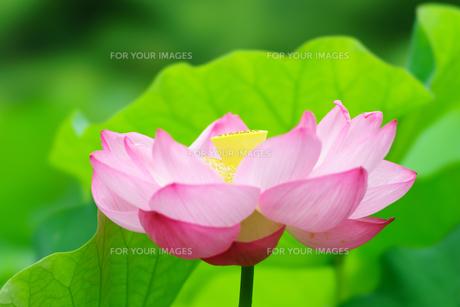 開花したハスの花の写真素材 [FYI01176049]
