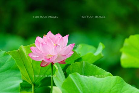 開花したハスの花の写真素材 [FYI01176050]