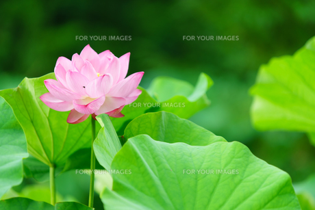 開花したハスの花の写真素材 [FYI01176051]