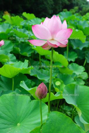 開花したハスの花の写真素材 [FYI01176052]