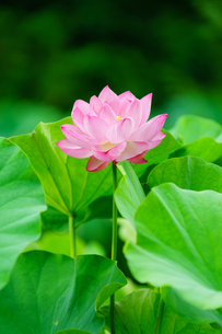 開花したハスの花の写真素材 [FYI01176053]