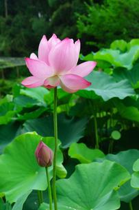 開花したハスの花の写真素材 [FYI01176054]