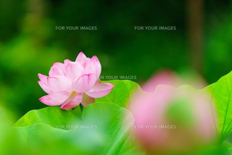 開花したハスの花の写真素材 [FYI01176055]