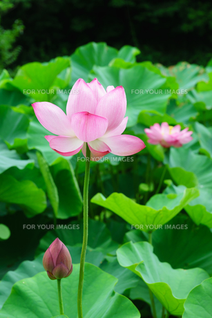 開花したハスの花の写真素材 [FYI01176056]