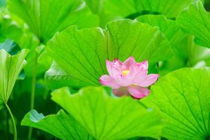 開花したハスの花の写真素材 [FYI01176057]