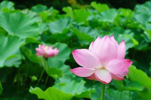 開花したハスの花の写真素材 [FYI01176058]