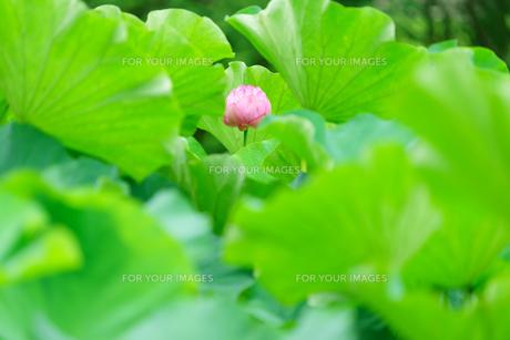開花したハスの花の写真素材 [FYI01176059]