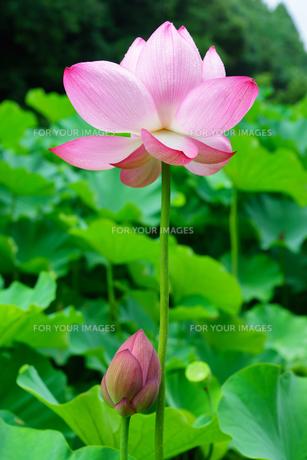 開花したハスの花の写真素材 [FYI01176060]