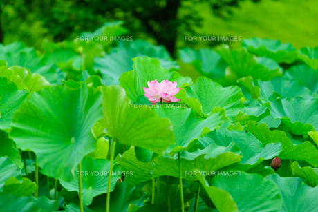 開花したハスの花の写真素材 [FYI01176061]