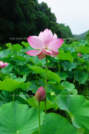 開花したハスの花の写真素材 [FYI01176062]