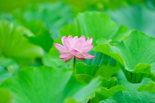 開花したハスの花の写真素材 [FYI01176063]