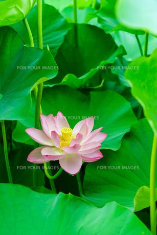 開花したハスの花の写真素材 [FYI01176064]