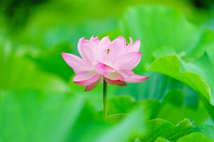 開花したハスの花の写真素材 [FYI01176065]