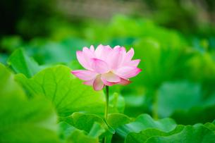 開花したハスの花の写真素材 [FYI01176066]