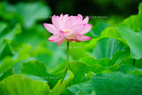 開花したハスの花の写真素材 [FYI01176067]