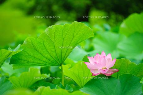 開花したハスの花の写真素材 [FYI01176068]