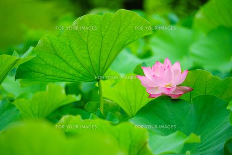 開花したハスの花の写真素材 [FYI01176070]