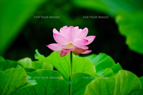開花したハスの花の写真素材 [FYI01176071]