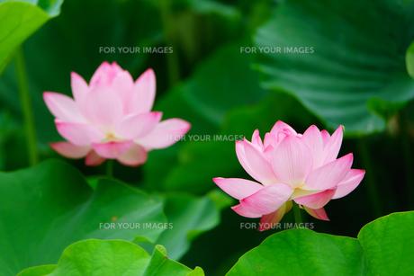開花したハスの花の写真素材 [FYI01176072]