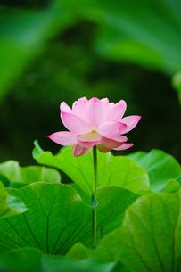 開花したハスの花の写真素材 [FYI01176073]