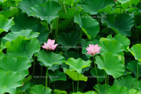 開花したハスの花の写真素材 [FYI01176074]