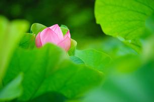 開花したハスの花の写真素材 [FYI01176075]