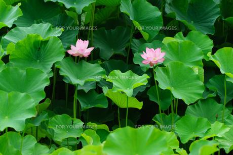 開花したハスの花の写真素材 [FYI01176076]