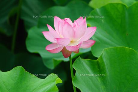 開花したハスの花の写真素材 [FYI01176077]