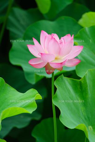 開花したハスの花の写真素材 [FYI01176078]